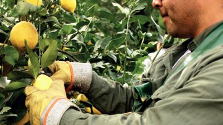 Locos por los limones: ¿Qué ocurre con las exportaciones de Argentina?